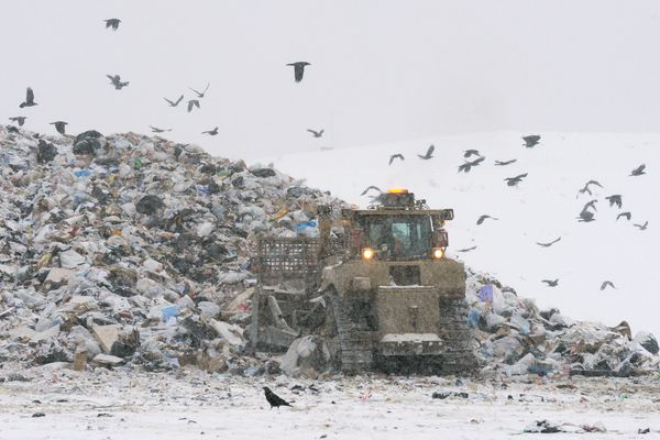 Bald eagles and ravens search for food in the Anchorage Regional Landfill on Wednesday, Feb. 1, 2012. (Bill Roth / ADN)