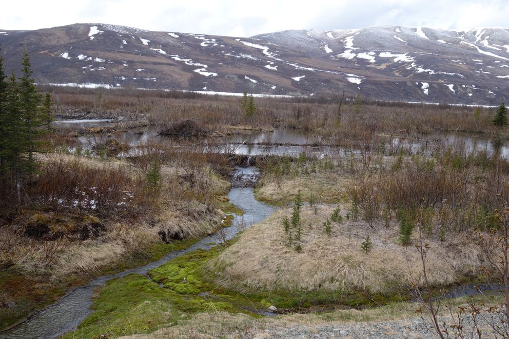 A beaver dam on Phelan Creek near Isabel Pass in the Alaska Range is a sure sign of the animal's presence. (Ned Rozell)
