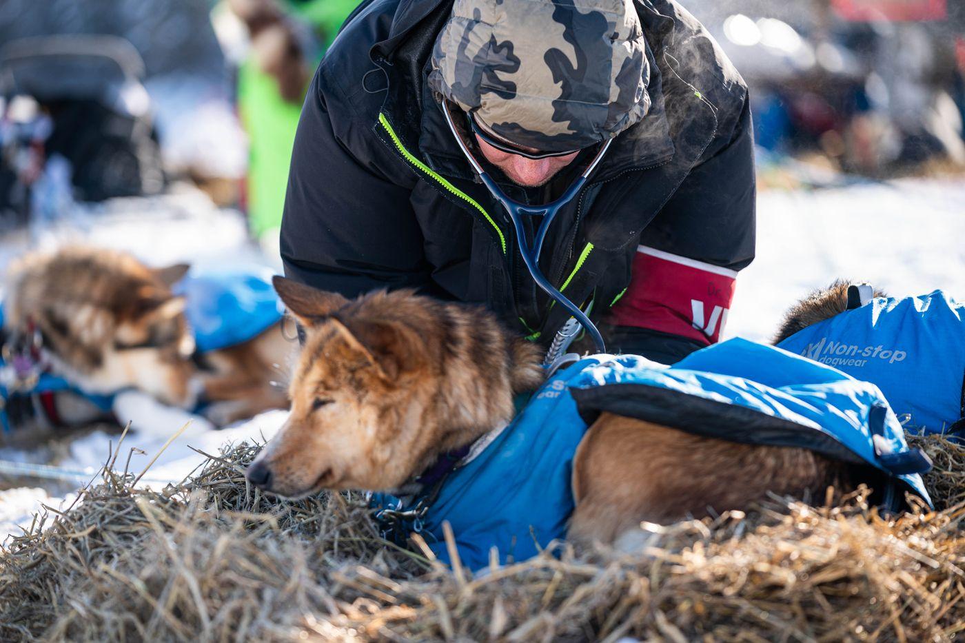 Gunnison, Colorado veterinarian Seth Nienhueser checks a dog in Michelle Phillips's team in Nikolai on Tuesday, March 10, 2020 during the Iditarod Trail Sled Dog Race. (Loren Holmes / ADN)