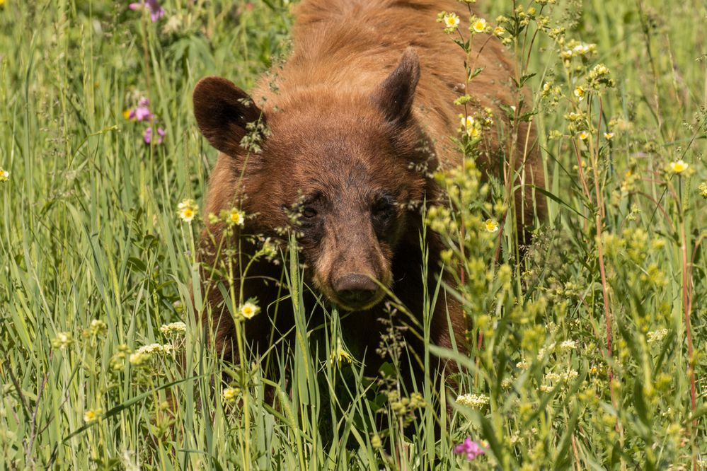 Cinnamon black bear feeding on wildflowers in Yellowstone National Park. iStock / Getty images