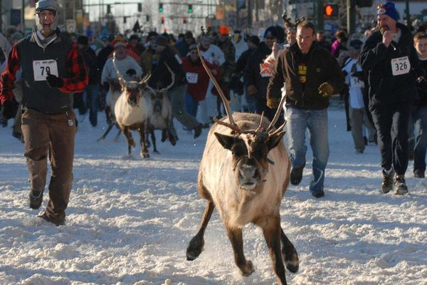 Reindeer hoof it through runners on Fourth Avenue during the Running of the Reindeer last year. The new Anchorage Fur Rondy event attracted thousands of spectators and 1,000 runners.