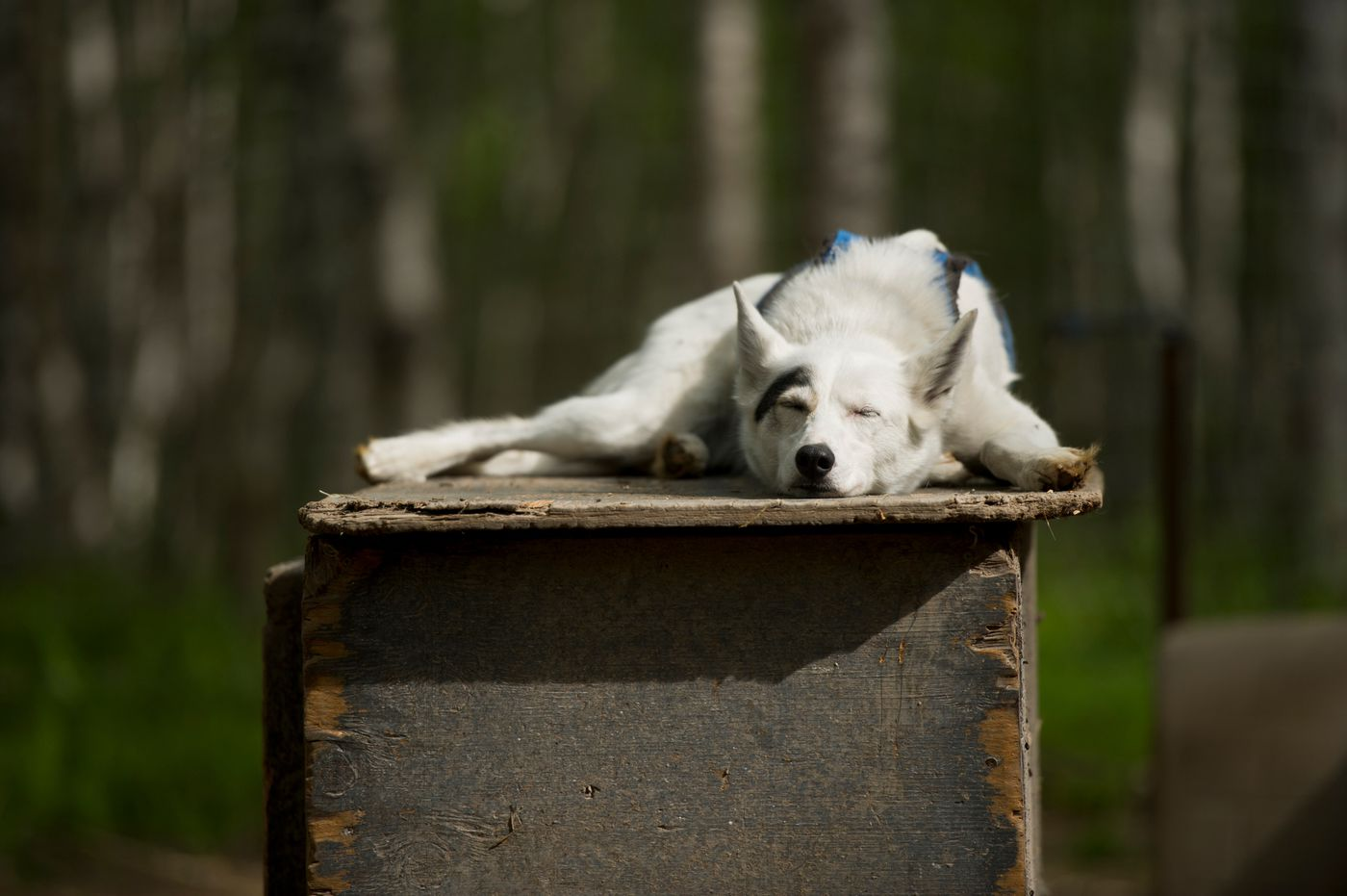 Juno rests on top of a dog house on Thursday, May 21, 2015. The dog is one of 35 dogs at Sled Dog Sanctuary along the Parks Highway near Talkeetna.