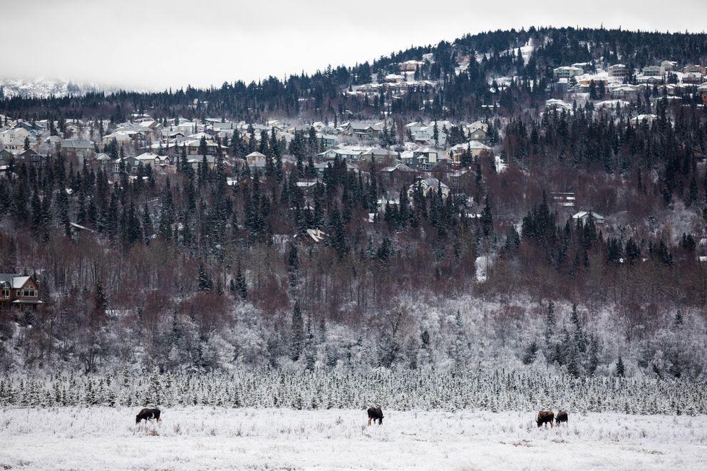Moose feed at Potter Marsh on Feb. 1. (Loren Holmes / ADN)