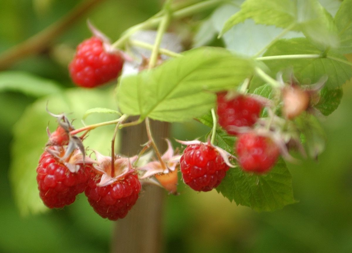 Raspberries on the vine, August 2007. (Fran Durner / ADN archive 2007)