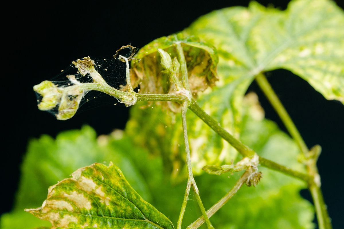 Spider mite parasitizes on sick and dry grapes leaves, isolated on black background.