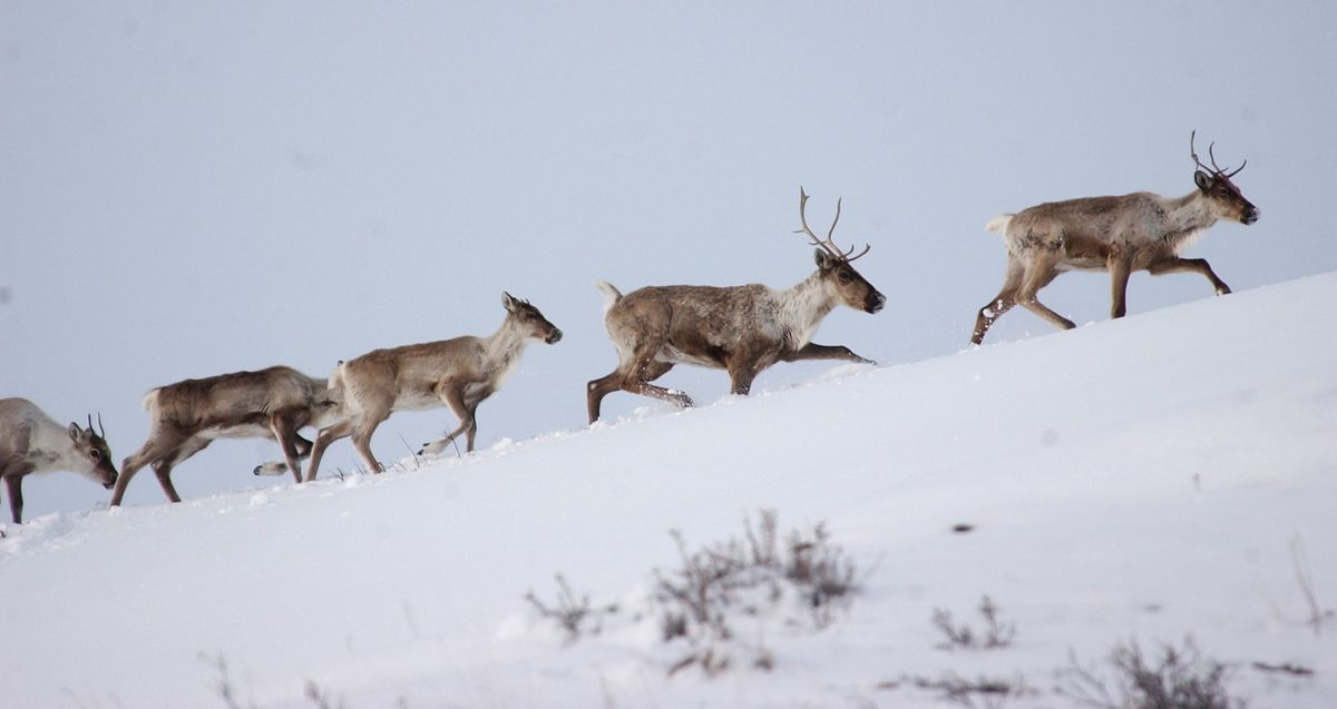 A small group of caribou moves along a ridge in the mountains near Paxson in April 2006. (Bob Hallinen / ADN archive)