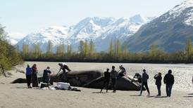 Scientists study gray whale carcass in Turnagain Arm