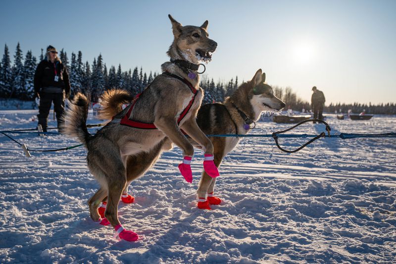 Dogs in Jeff Deeter's team jump after arriving in Nikolai on Tuesday, March 10, 2020 during the Iditarod Trail Sled Dog Race. (Loren Holmes / ADN)
