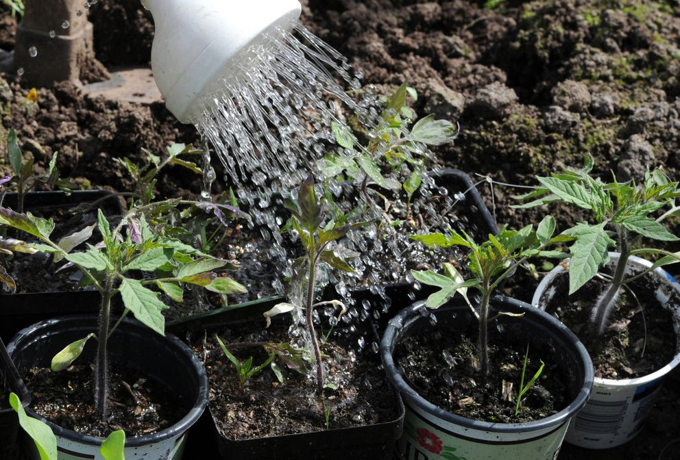 Tomato plant starters are watered at the C Street Community Gardens. (Bill Roth / ADN)
