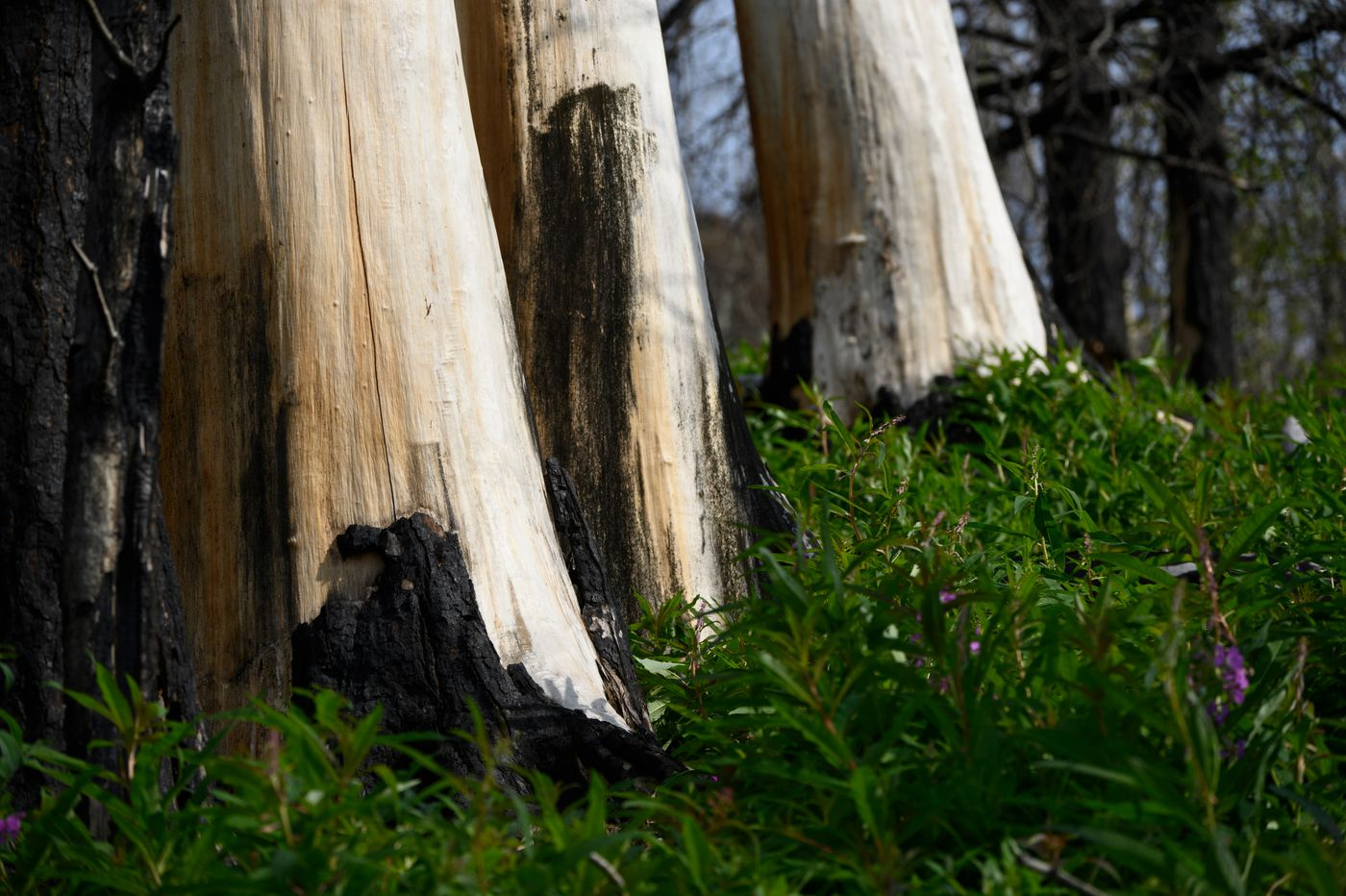 Some trees are bare of bark in the forest along the Skyline Trail near Cooper Landing. The Swan Lake Fire heavily damaged the trail in 2019. (Marc Lester / ADN)