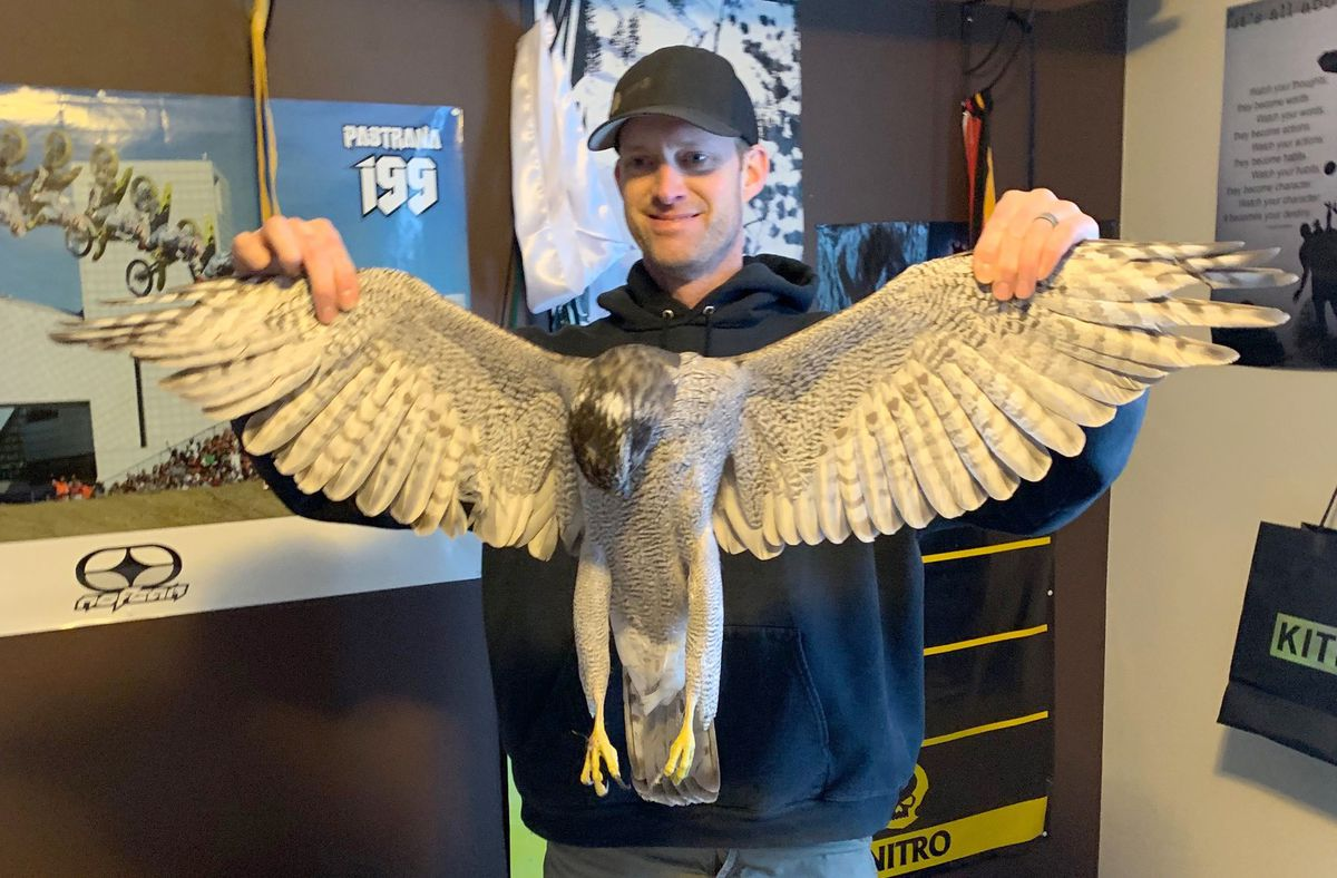 Chris Watson holds the dead goshawk that flew through his son's bedroom window on Tuesday. Goshawks can grow to have a wingspan greater than 3 feet. (Photo by Jennifer Watson)