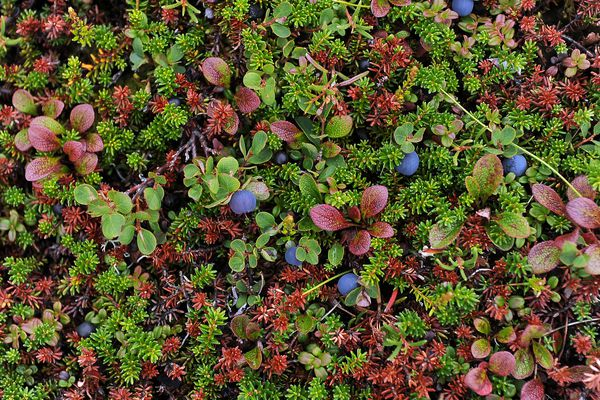 Blueberries and crowberries ripen on the slopes of Mt. Baldy on Tuesday, July 28, 2015, in Eagle River. July 28, 2015. (Erik Hill / ADN archive)