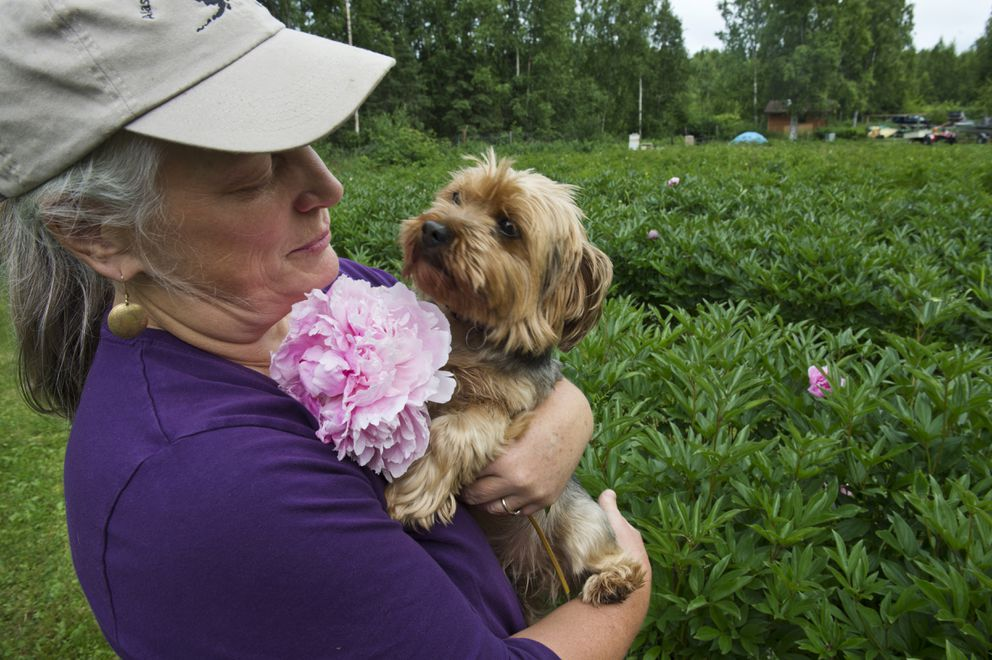 Barbara Henjum holds her Yorkshire terrier in her peony field. Henjum co-owns Brown Hen Farm, which grows peonies in Peters Creek. Photographed July 17, 2018. (Marc Lester / ADN)