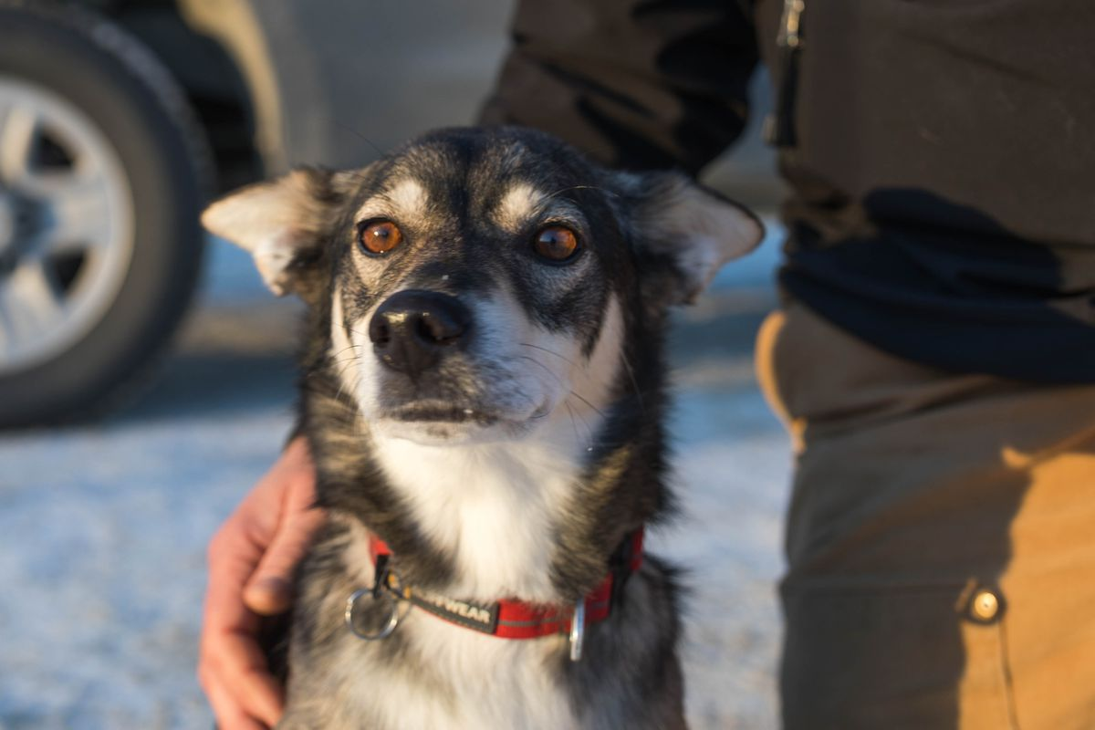 New mushing app Kibble is already attracting interest among the canine crowd.(Loren Holmes / Alaska Dispatch News)