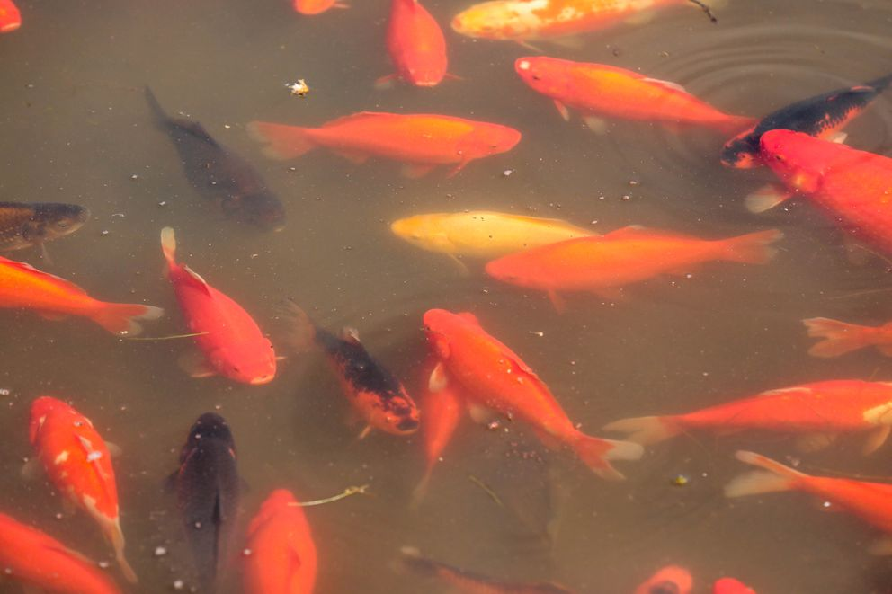 Goldfish swim in a lake at Cuddy Park on Tuesday, June 4, 2019. (Loren Holmes / ADN)