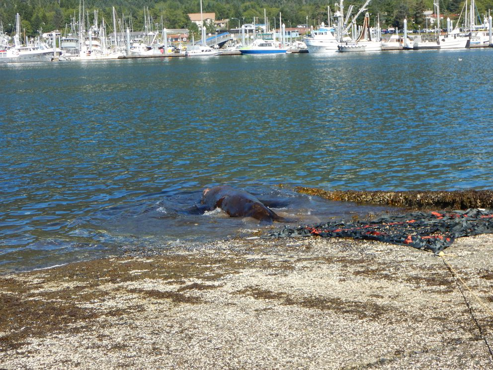 The sea lion swims back into the harbor after being on land for four days. (NOAA photo)