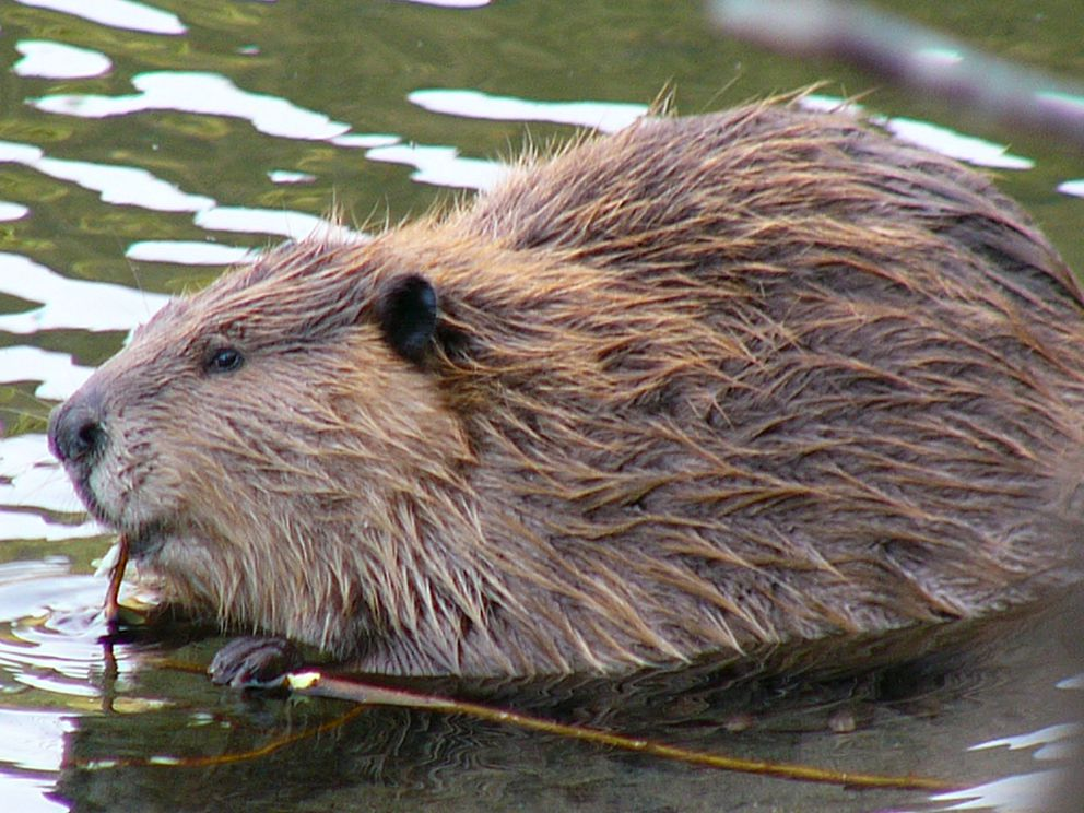 Beavers like this one were once captured in Cordova and released in Kodiak to establish a population there. (Photo by Frank Zmuda, Alaska Department of Fish and Game)