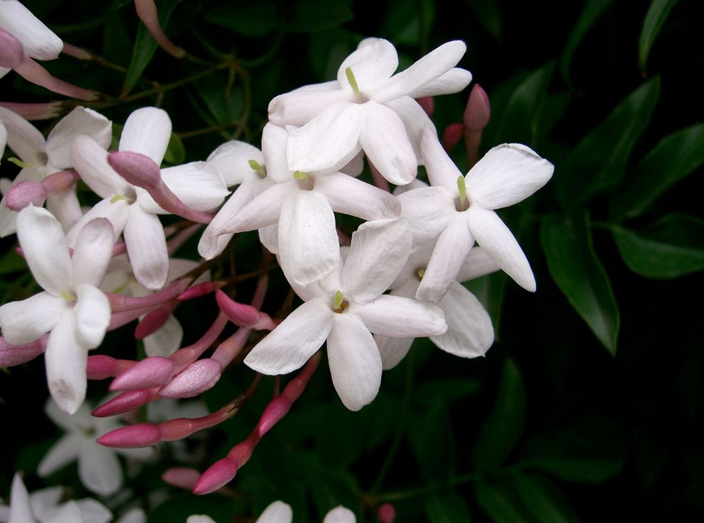 Jasminum polyanthum has intensely fragrant flowers. (KENPEI via Creative Commons)