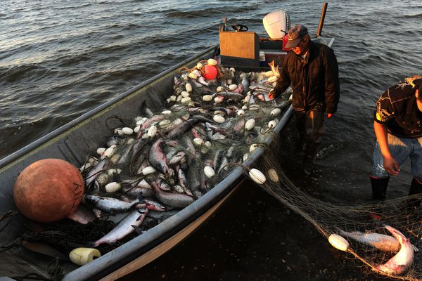 In this August 2014 file photo, Frank Kenworthy Sr. picks chum salmon from his net on the beach at sunset in Kotzebue. Kotzebue expects another big salmon fishery this year, but faces uncertainty over how many buyers will participate, and how high prices will be.