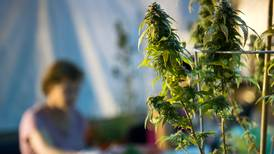 How will Alaska pot shops open without licensed growers getting a head start?