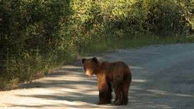 When's a good time to see bears in Alaska? When the timing is right.