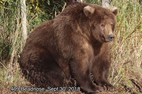 Katmai brown bear 409 Beadnose Sept. 30, 2018. (National Park Service)