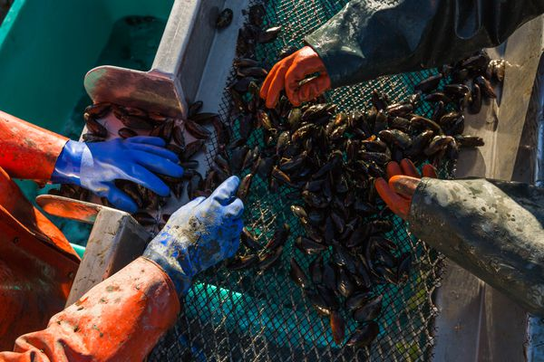 Greg and Weatherly Bates clean and sort mussels at their shellfish farm in Halibut Cove on Wednesday, October 22, 2015. The couple began farming mussels in 2013, and now harvest tens of thousands of pounds each year. (Loren Holmes / ADN archive)