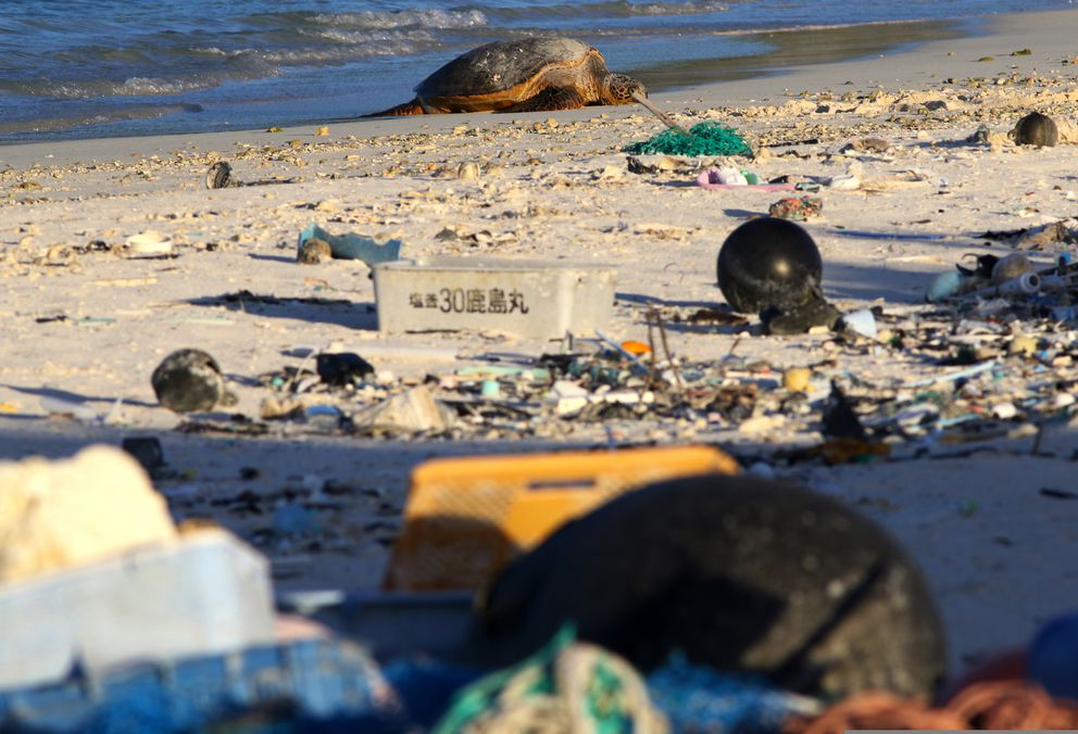 In this Oct. 15, 2019, photo, a green sea turtle rests on the beach among marine debris on Midway Atoll in the Northwestern Hawaiian Islands. In one of the most remote places on Earth, Midway Atoll is a wildlife sanctuary that should be a safe haven for seabirds and other marine animals. (AP Photo/Caleb Jones)