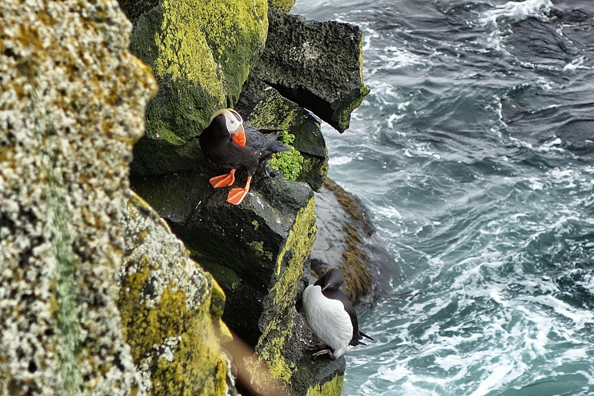 A tufted puffin pauses cliffside, looking down at a common murre on St. Paul Island. (Photo Scott McMurren)
