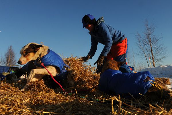 One of Iditarod musher Cindy Abbott's team dogs moves out from under straw she just covered it with in the village of Tanana during the 2017 Iditarod Trail Sled Dog Race on Wednesday, March 8, 2017. (Bob Hallinen / Alaska Dispatch News)