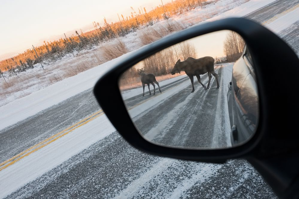 A moose cow and calf cross Lake Hood Drive on November 22, 2017. (Photo by Marc Lester)