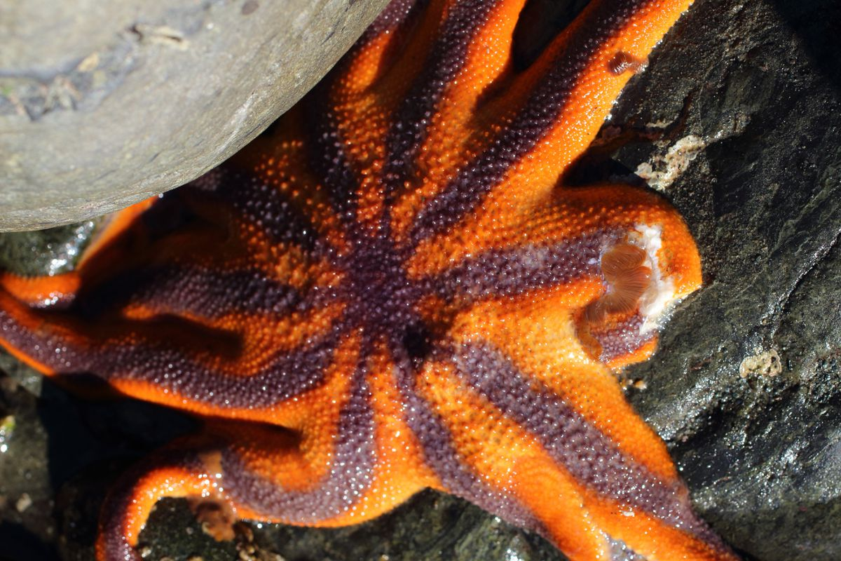 A wasting sun star (Solaster stimpsoni) (Ground Truth Trekking photo)