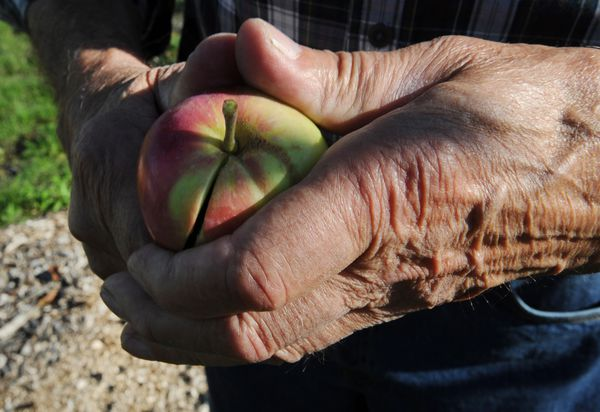 Paul Lariviere cuts into a Praire Magic apple grown at the Government Hill Commons. (Bill Roth / ADN)