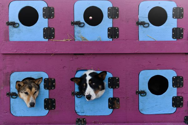 Dogs from Cindy Abbott's team peek out from their truck compartments. Fifty-two mushers and dog teams ran across Anchorage for the ceremonial start of Iditarod 2019 on March 2, 2019. (Marc Lester / ADN)