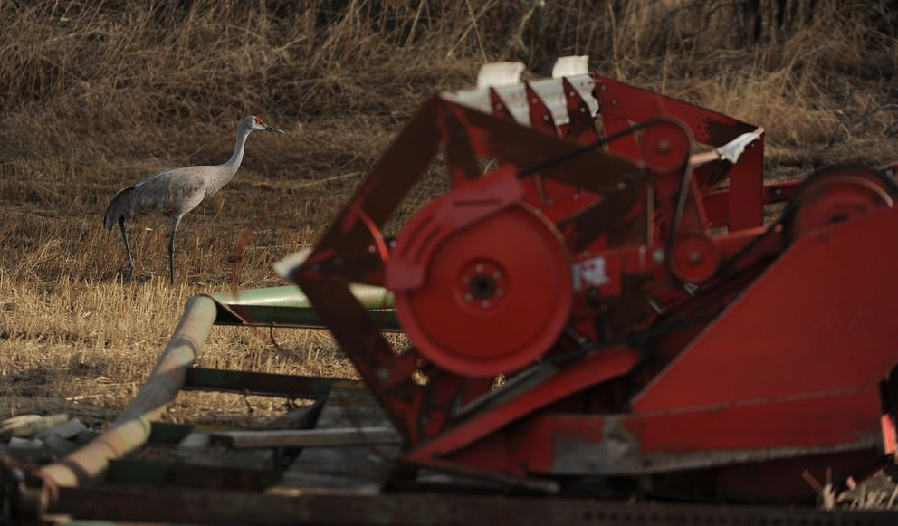 A sandhill crane walks past a reaper at a farm near Palmer. (Bob Hallinen / ADN)