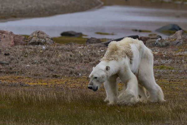 An emaciated polar bear was photographed and videoed by Paul Nicklen and Cristina Mittermeier in Nunavut, Canada in late August 2017. (SeaLegacy / Caters)