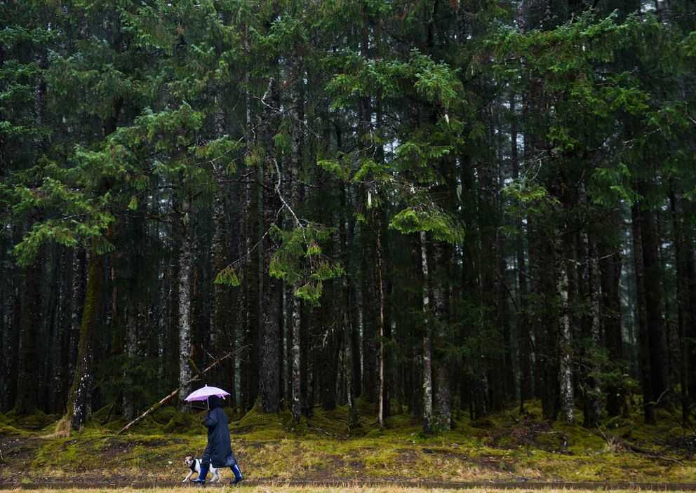 A dog gets a walk on a trail near the Mendenhall Glacier Visitors Center and the Tongass National Forest. (Marc Lester / ADN file )