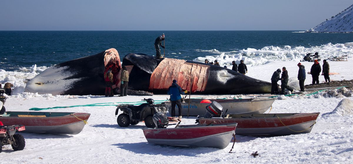 This large female bowhead whale was caught off Gambell last month. (Karen Trop / KNOM)