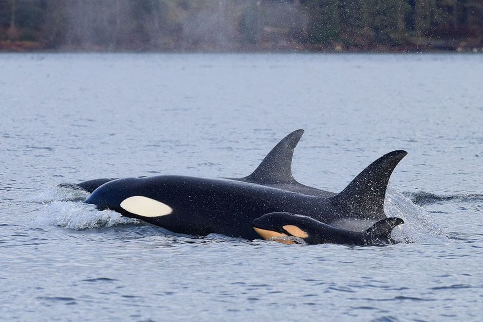 An orca calf swims alongside its mother shortly before it is attacked by a male killer whale, in the first documented case of killer whale infanticide. MUST CREDIT: Jared Towers.