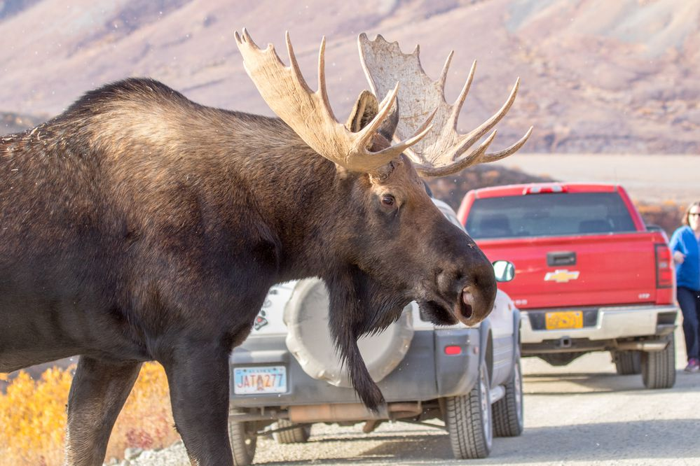 A bull moose weaves himself thru a traffic jam on the Denali Park Road Sunday, Sep. 17, 2017 during the annual road lottery. (Doug Lindstrand)