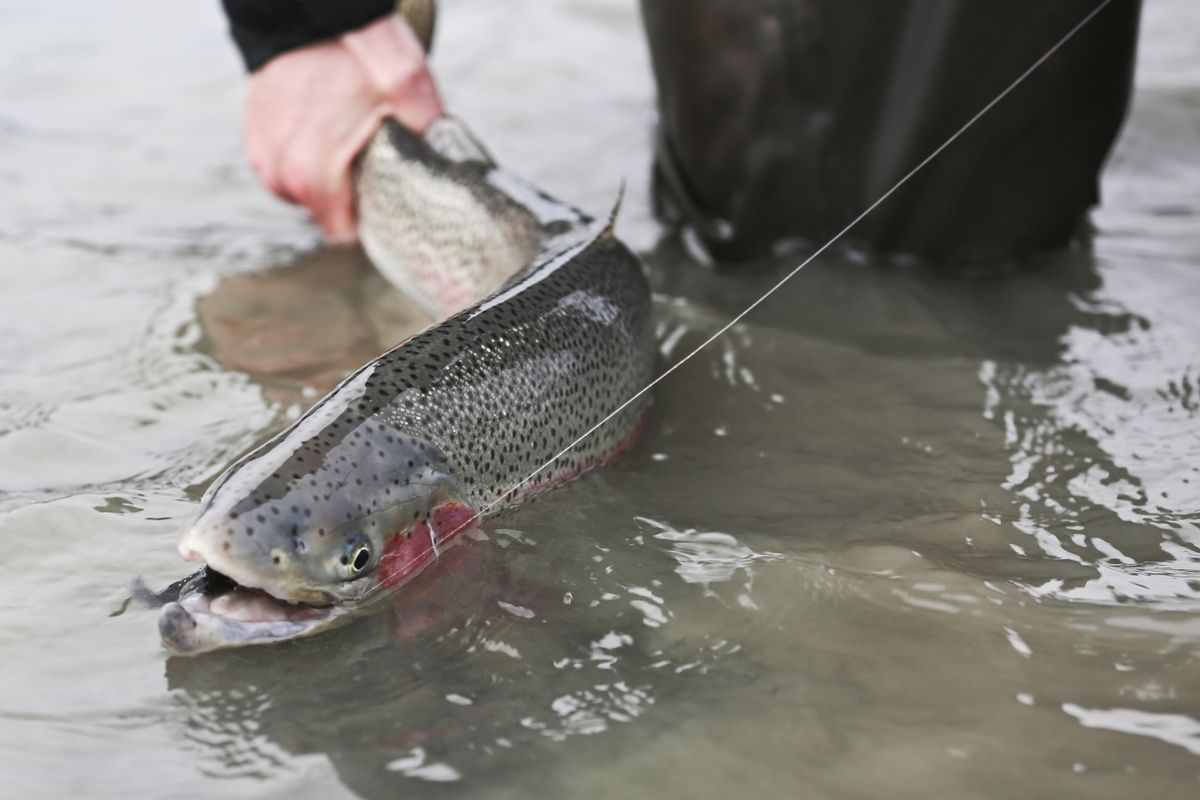 A rainbow trout caught on the Kenai on March 3, 2015. (Photo by Steve Meyer)