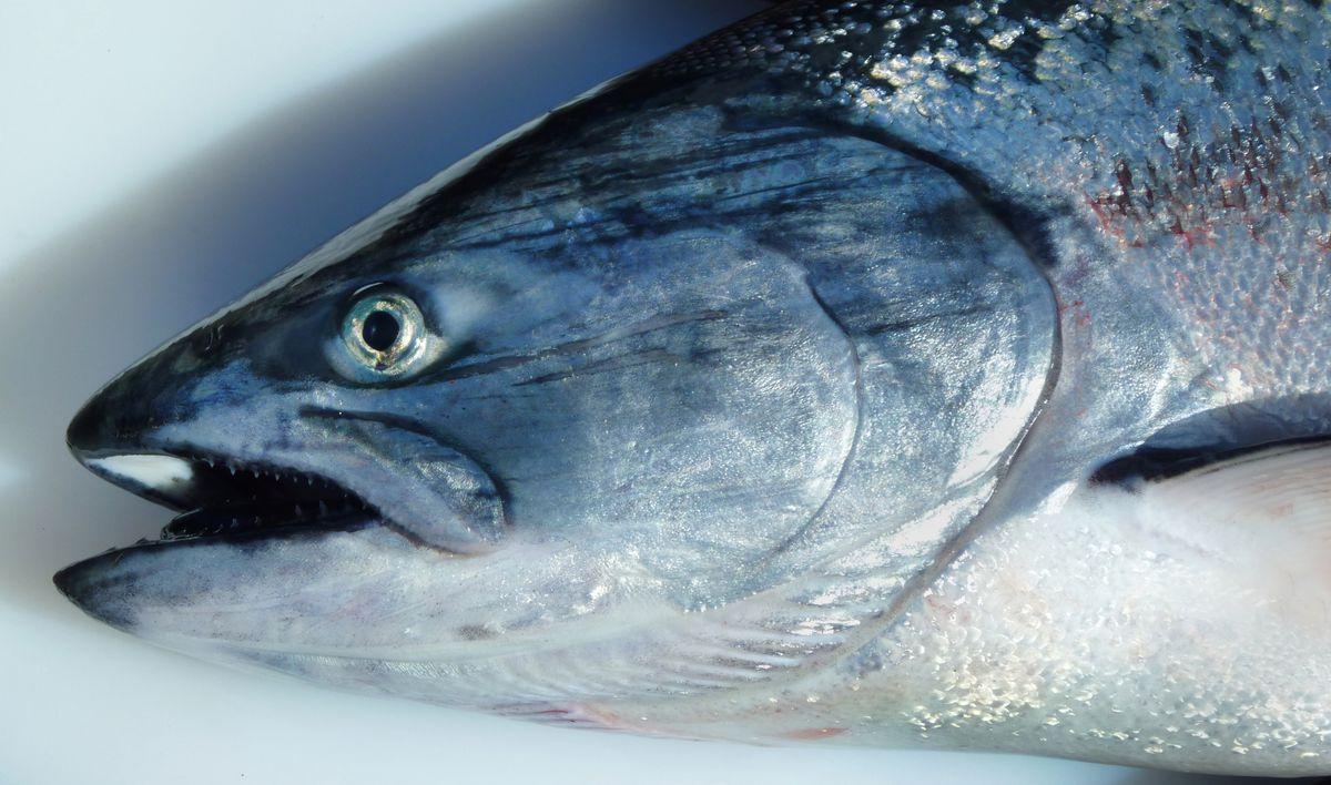 A winter king salmon.