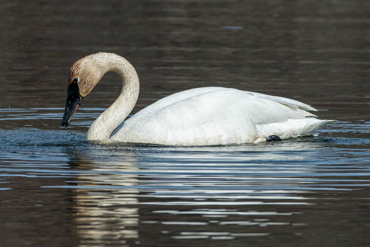 A trumpeter swan feeds at Potter Marsh on Wednesday, April 29, 2020. (Loren Holmes / ADN)