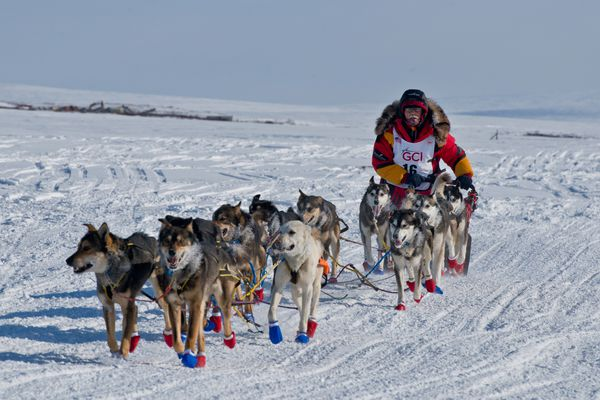 Mitch Seavey mushes the final few miles toward Nome and a 2017 Iditarod championship on March 14, 2017. (Marc Lester / Alaska Dispatch News)