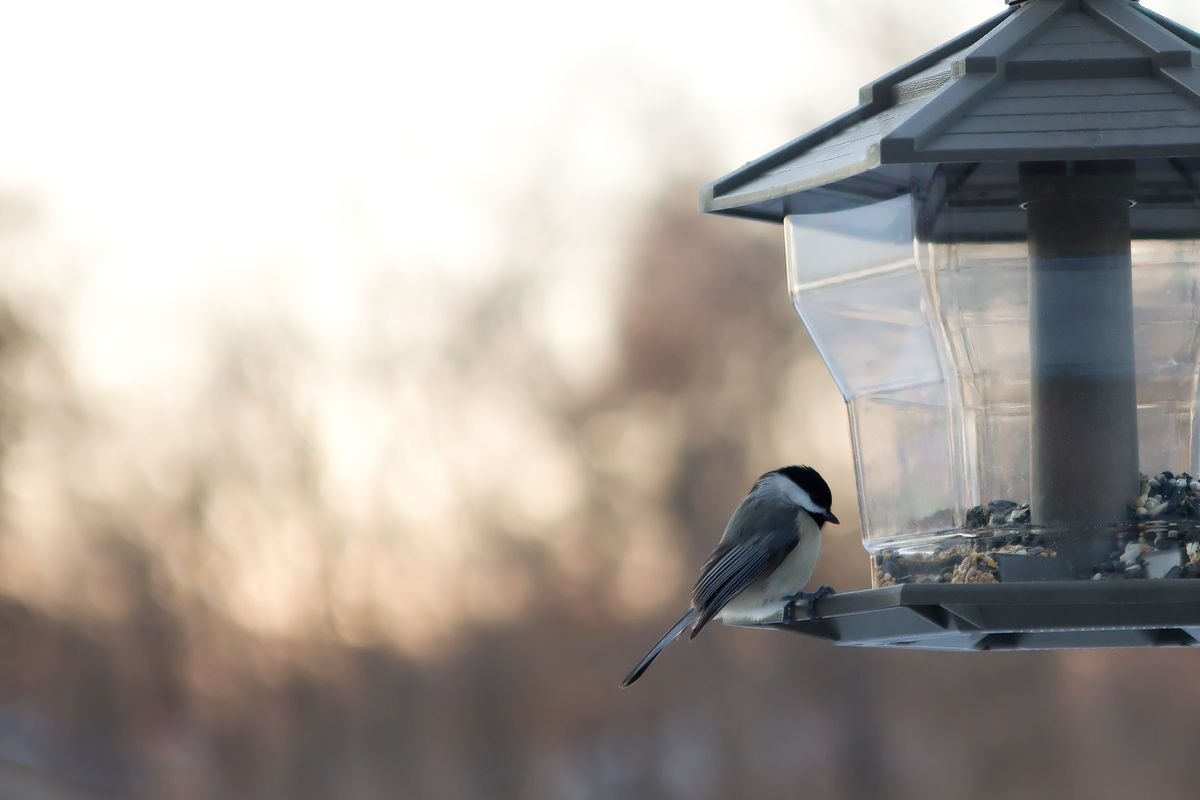 Chickadee at bird feeder with evening woods in background (Thinkstock)