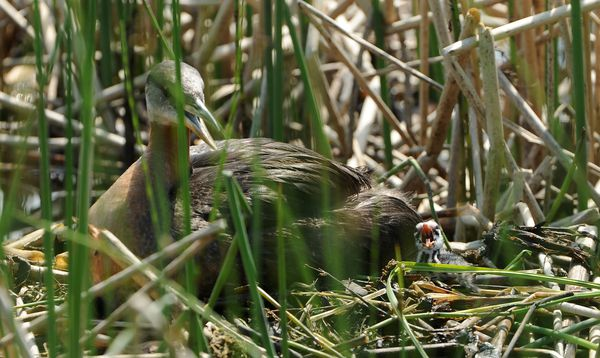 The first red-necked grebe chick to hatch sits next to its parent ona nest at Cheney Lake. (Bob Hallinen / ADN)