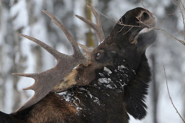 Ice clings to the fur of a bull moose browsing at Eastchester Lagoon near downtown Anchorage on Tuesday, Jan. 24, 2017. (Bill Roth / Alaska Dispatch News)