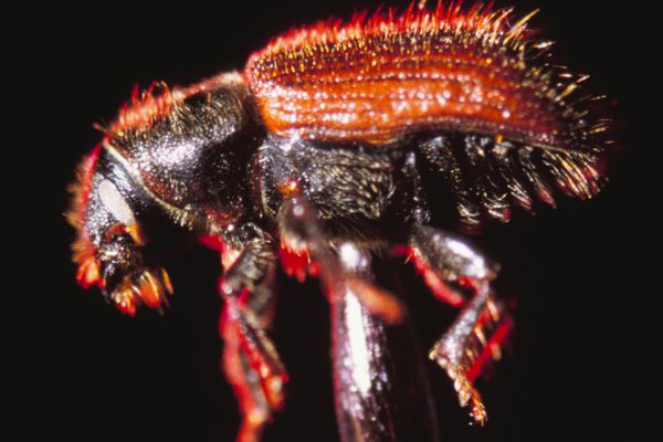 A spruce bark beetle, shown atop the point of a push-pin. (Marc Lester / ADN archive 1999)