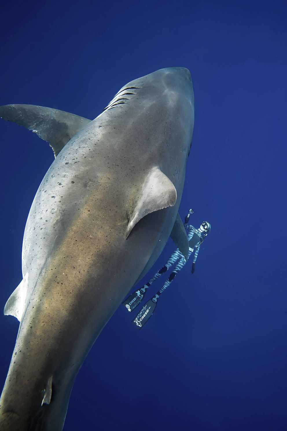 In this Jan. 15, 2019 photo provided by Juan Oliphant, Ocean Ramsey, a shark researcher and advocate, swims with a large great white shark off the shore of Oahu. Ramsey and Oliphant, two shark researchers, came face-to-face with what could be one of the largest great whites ever recorded. They are using their encounter as an opportunity push for legislation that would protect sharks in Hawaii. (Juan Oliphant via AP)