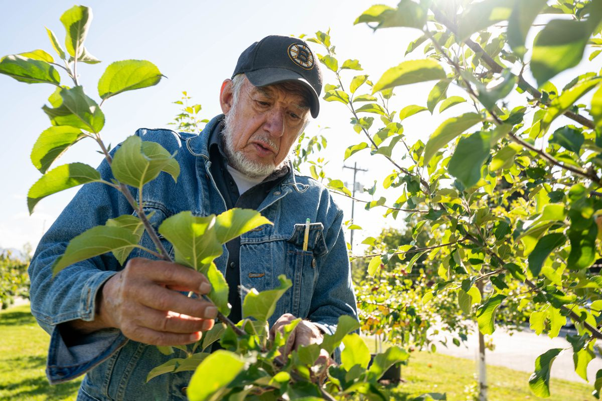 Paul Lariviere tends to an apple tree at the Government Hill Commons orchard on Sept. 9, 2020. (Loren Holmes / ADN)